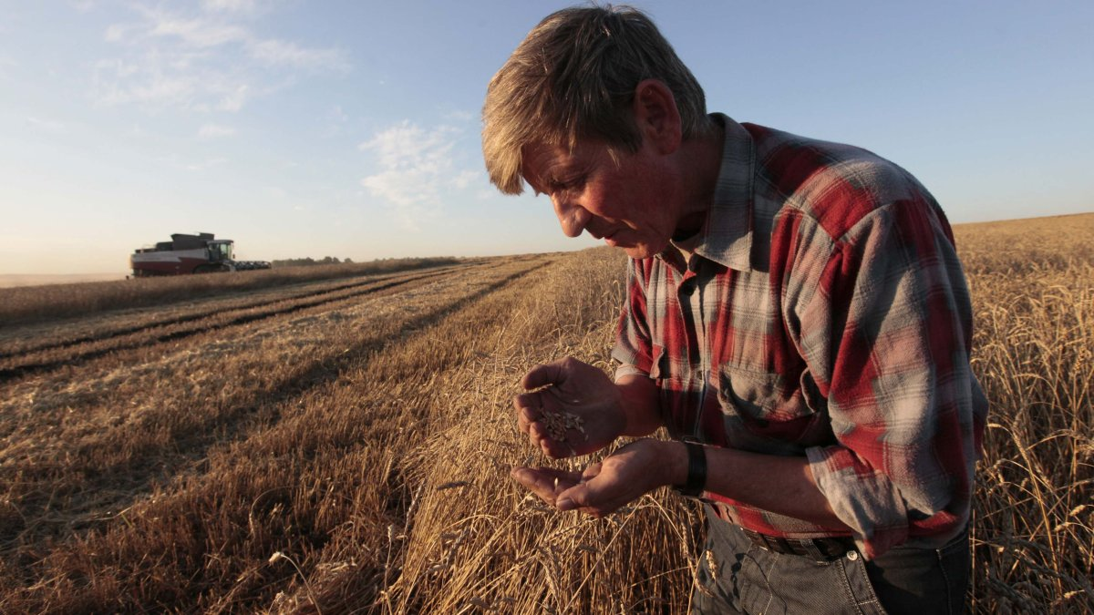 "An employee inspects wheat in a field of the ""Svetlolobovskoye"" farm outside the village of Svetlolobovo, some 390 km south of Russia's Siberian city of Krasnoyarsk, in this September 3, 2012 file photo. Russia's decision not to ban grain exports after another poor harvest shows its leaders recognize that the embargo imposed after the failed 2010 crop was a mistake. To match Analysis RUSSIA-GRAINS/ Picture taken September 3, 2012.   REUTERS/Ilya Naymushin/Files (RUSSIA  - Tags: AGRICULTURE BUSINESS)"